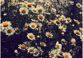 Daisies_Bloom_Along_the_Stream_by_Deja_Vu_Afterglow