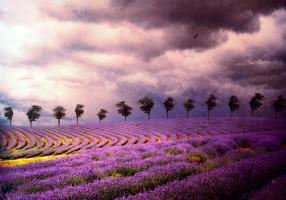 lavender_by_kokoszkaa-d4s0761