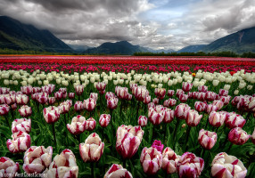 tulip_sea_by_ivanandreevich-d4y6ofa