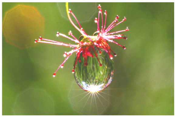 Sun_Dew_2_by_TomMontgomery
