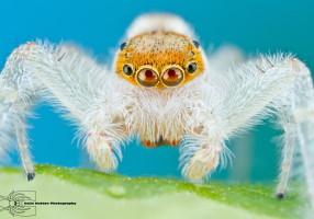 jumping_spider___hentzia_mitrata_by_colinhuttonphoto-d5sk10g