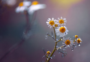 daisies_by_rezzanatakol-d64jhqx