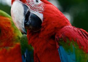 ara-crvena